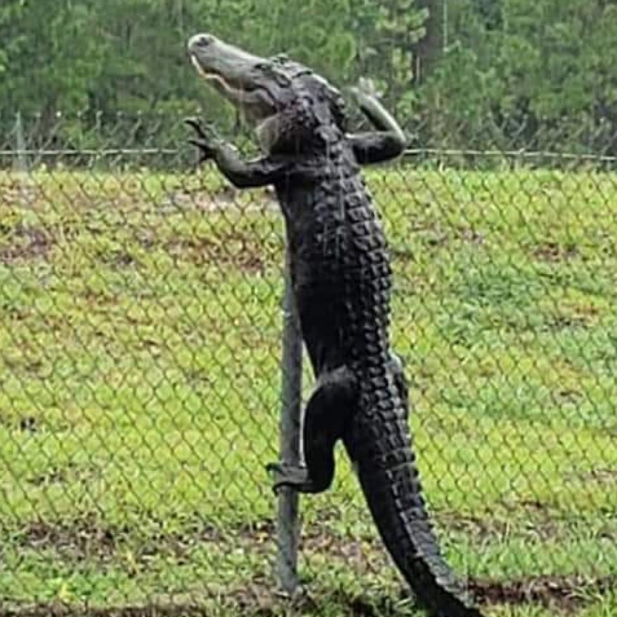 croc on fence.png